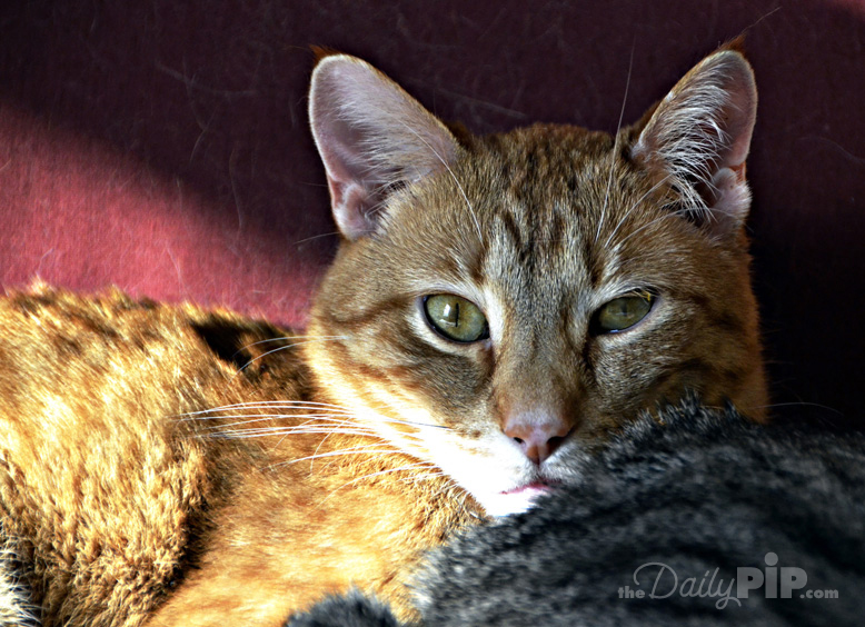 10 reasons to adopt a shelter cat during adopt-a-shelter-cat month
