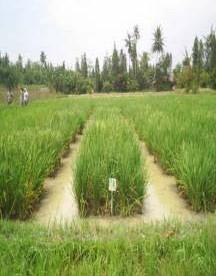 Gambar Pertumbuhan Varietas IR64 di lahan sawah