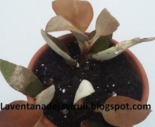 cooper-spoon-plant
