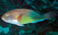 http://sciencythoughts.blogspot.co.uk/2012/03/new-species-of-parrotfish-from-east.html