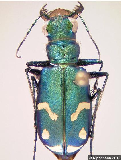 BC Beetles: The Tiger Beetles of British Columbia
