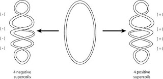supercoiling in circular DNA
