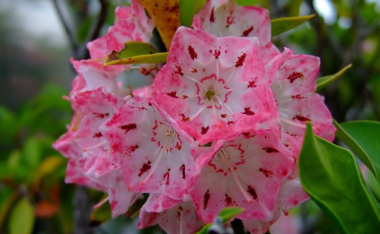 ピンク色に染まったカルミア