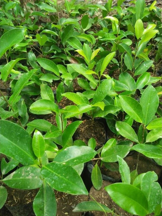 Bibit pohon beringin Gorontalo