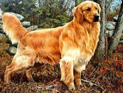 Postur tinggi dan bulu emas golden retriever menjadi keanekaragaman anjing