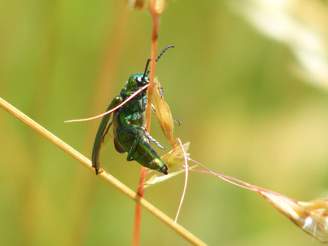 Spanish Fly Lytta vesicatoria.  Indre et Loire, France. Photographed by Susan Walter. Tour the Loire Valley with a classic car and a private guide.