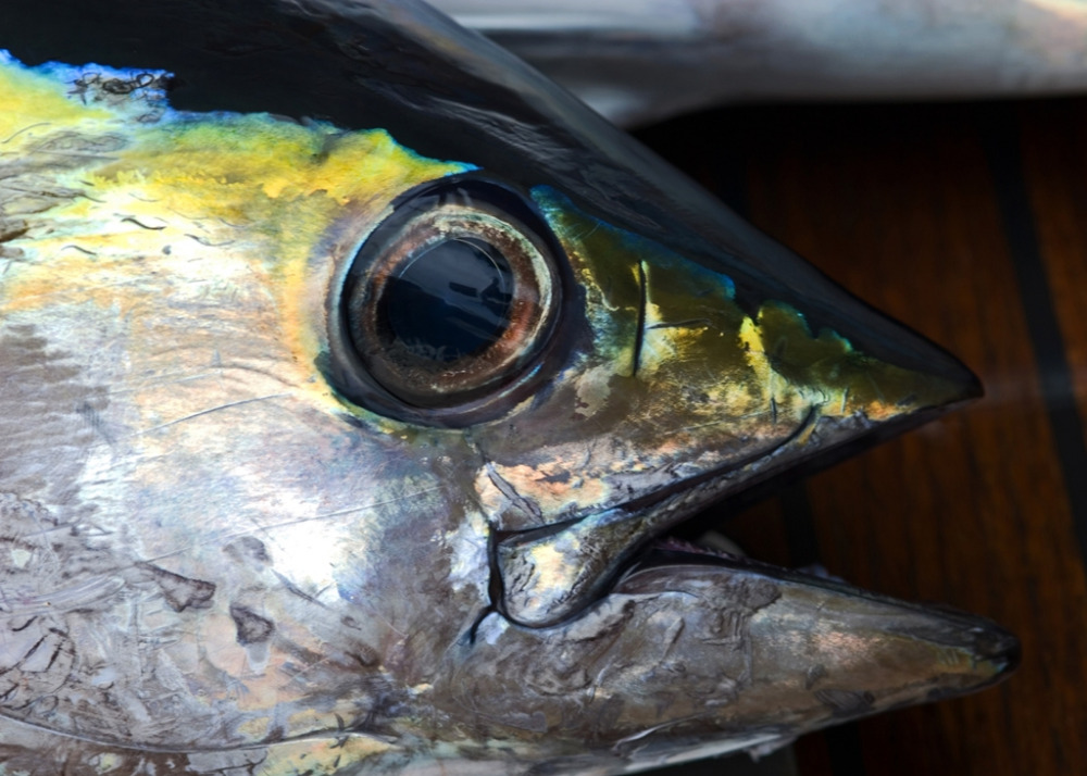 Why you should eat frozen tuna head frozen tuna fish for What does a tuna fish look like