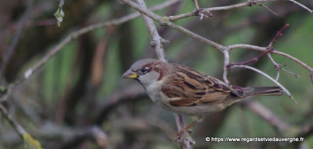 Oiseaux du jardin :  Moineau