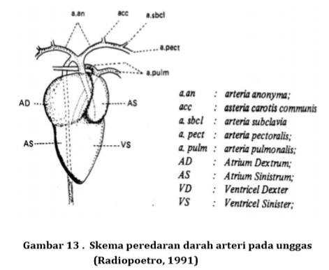 Anatomi Peredaran Darah pada Unggas - Buku Sekolah Net