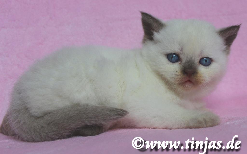 Britisch Kurzhaar Katzenbaby aus der Tinjas Katzenzucht