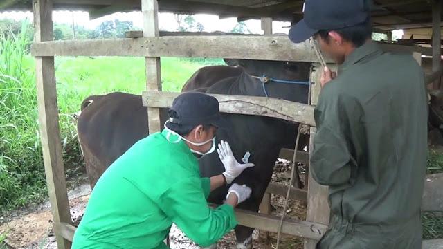 Begini Kisah Petugas Peternakan Kecamatan Dongkrak Populasi Sapi Potong di Sinjai