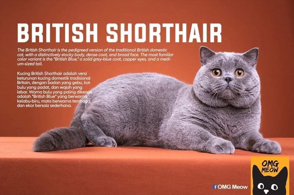 Jenis Jenis Kucing Peliharaan Di Dunia