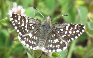 Two-banded Checkered-Skipper, Pyrgus ruralis