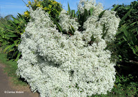 Fragrant white flower shrub at Pololu Valley Lookout - Big Island, HI