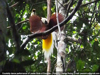 Birding vacation in Sorong regency of West Papua