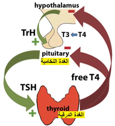 تحليل هرمون الغدة الدرقية الثيروكسين الحر Free Thyroxine -FT4)  T4)