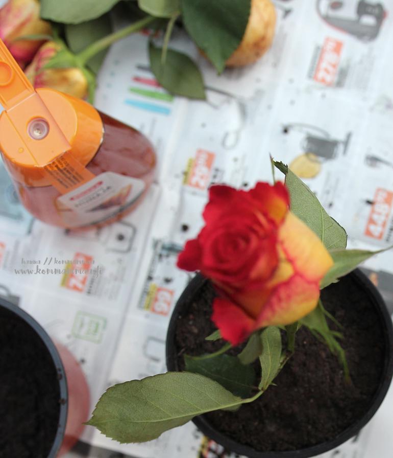 ruusupensaan kasvatus