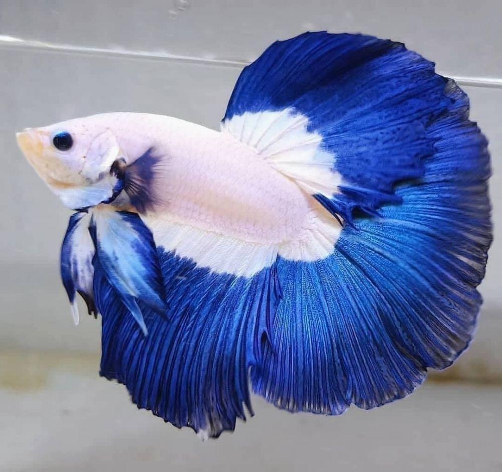 Jenis Penyakit Pada Ikan Cupang, Penyebab, Gejala, dan Cara Mengobatinya