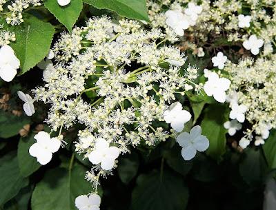 Hydrangea petiolaris white flower