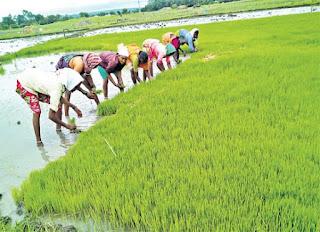 rice farming madhubani