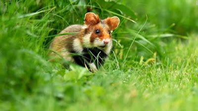 Hamster mascota popular conservación