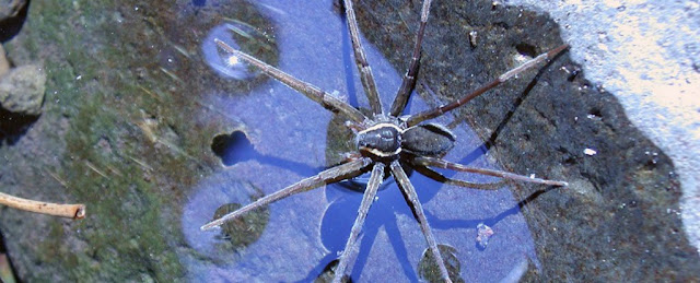 Scientists Found a Latest Spider in Australia that can swim and Catch Fish
