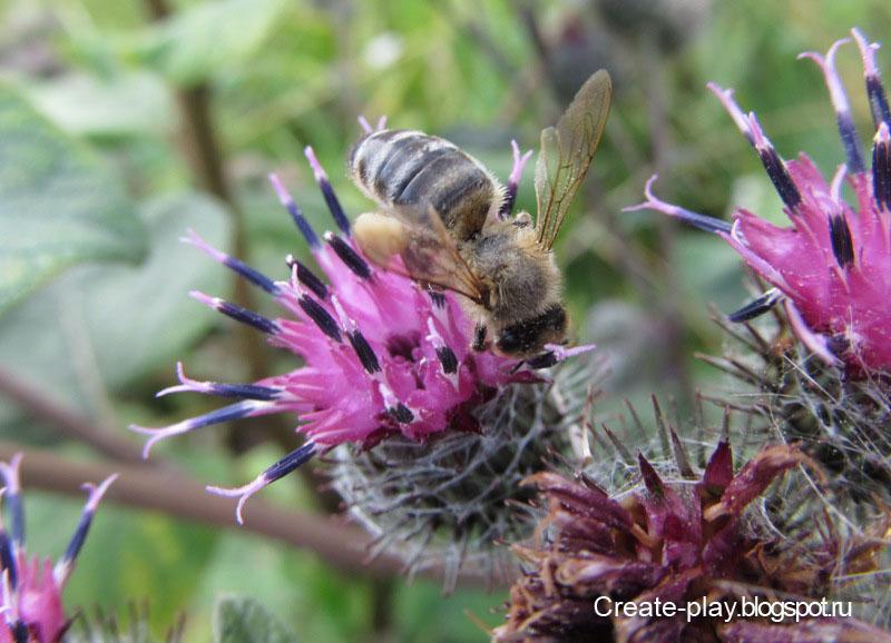 пчела на репейнике