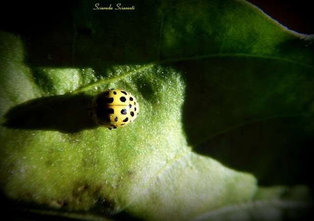 Psyllobora vigintiduopunctata - Coccinella gialla su foglia