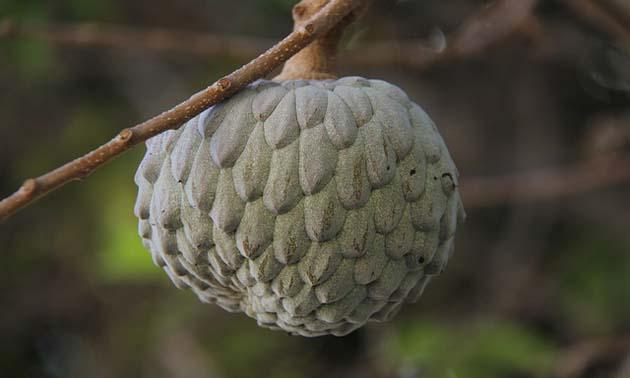 Fruta do conde (Annona squamosa L.)