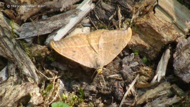 Watsonalla uncinula (male) DSC171492