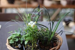 山野草盆栽の教室 睦草の9月の花苗