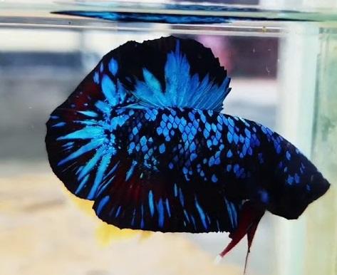 Cupang Avatar Gordon - Sejarah dan Jenis Ikan Cupang Avatar