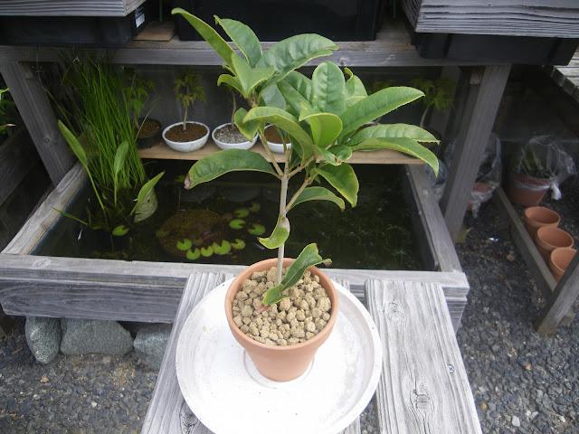 キンモクセイ 金木犀 鉢植え