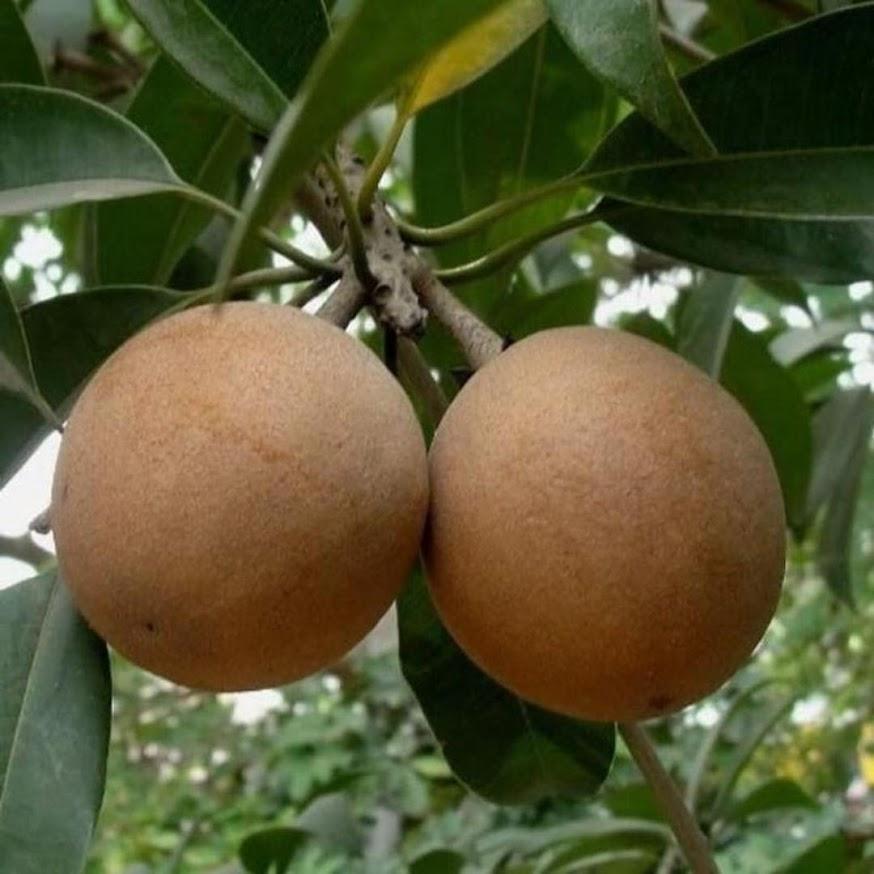 Bibit buah sawo jumbo keraton Banten