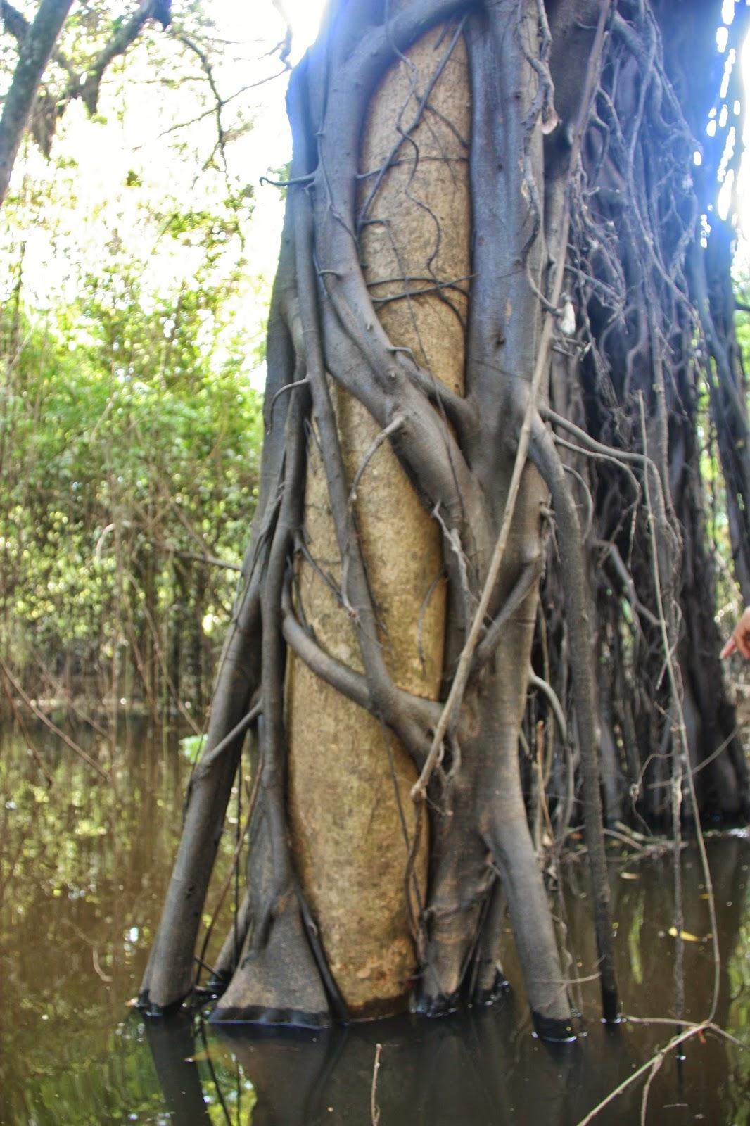 árvore sendo estrangulada por um cipó.