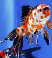 Inilah Jenis Ikan Koki Beserta Gambar Ikan Koki shubunkin
