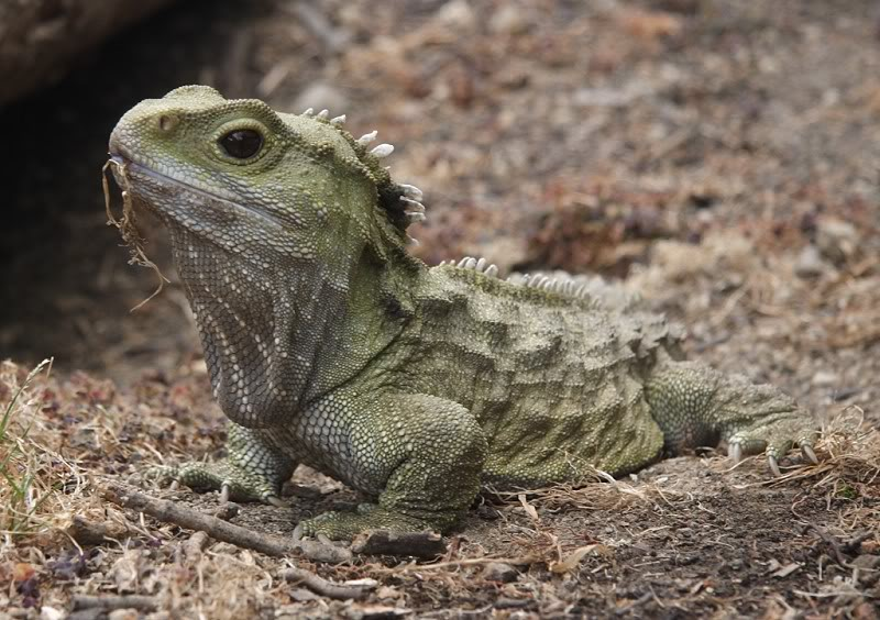 A picture of a New Zealand Tuatara.