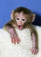 Şebek Maymunu