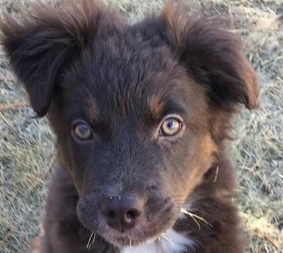 Aussiedor (Labrador Australian Shepherd mix) Temperament, Size, Lifespan, Adoption
