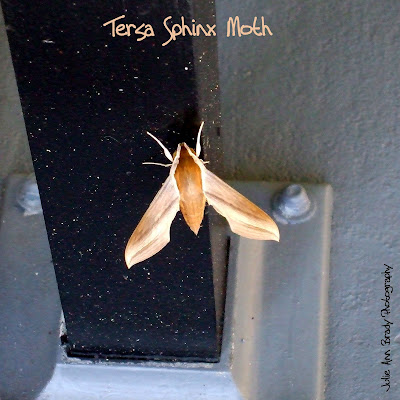 Tersa Sphinx Moth - Leesburg, Florida, December 22, 2016
