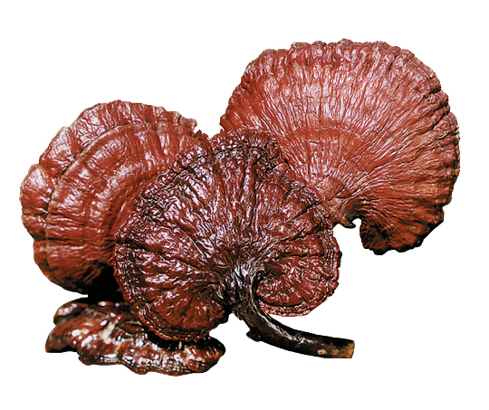 Reishi | Ganoderma | Mushroom Training | Kolhapur | Maharashtra | India