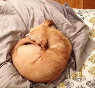 cães enrolados com dor
