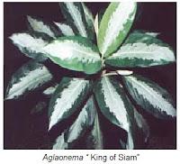 Cara Pembangbiakan Bunga Aglaonema