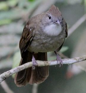 3 Perbedaan Burung Kapas Tembak Jantan Dan Betina Paling Akurat Di Lihat Dari Fisik
