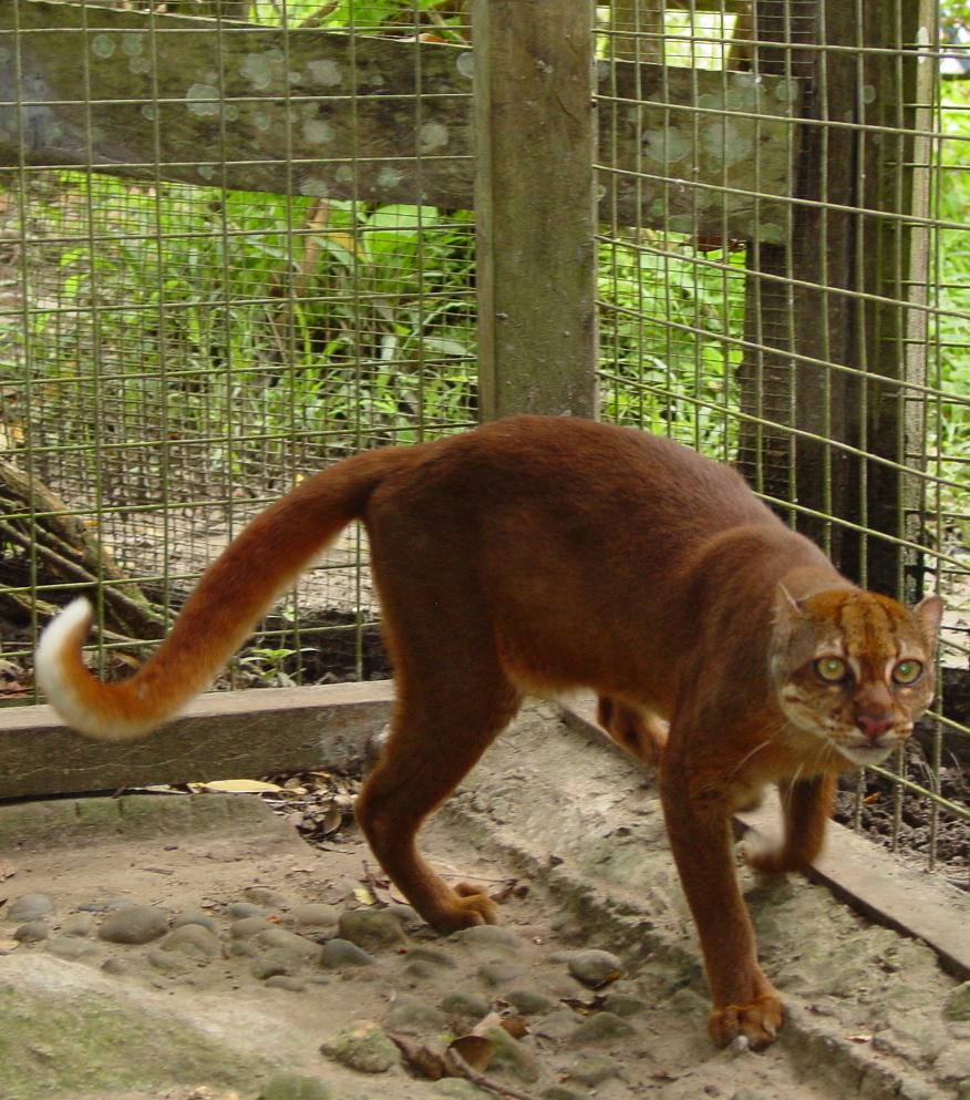 kucing merah