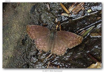 Mariposa ala cortada (Anisochoria sublimbata)