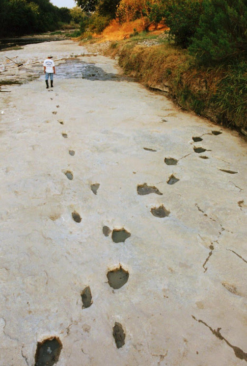 Human footprints crossing 3 toed dinosaur footprints fossilised in the Paluxy river bed.