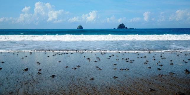 Pantai Bayuwangi Adalah Pantai Surganya Bagi Para Penyu Untuk Bertelur!