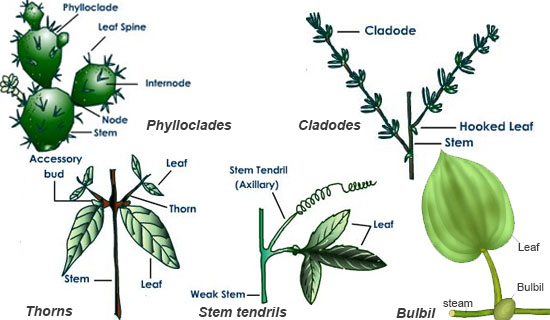 In Certain Plants The Aerial Stem Or Buds Get Modified To Perform Special Functions Like Climbing Protection Food Storage Vegetative Propagation Etc
