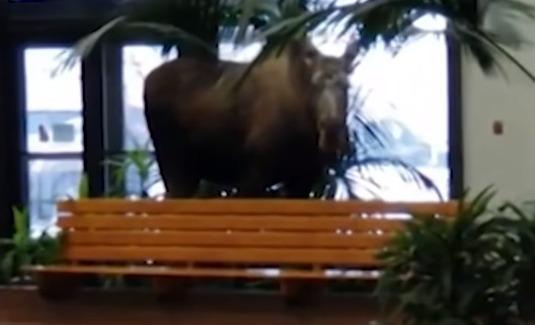 Ελάφι μπουκάρισε για ...βοσκή σε νοσοκομείο (βίντεο)